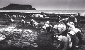 In March, Haenyeo go out to the inter-tidal zone and gather seaweed using a hoe. Most fishing villages collect and share seaweed together.